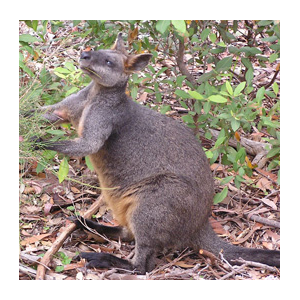 STEP Wallaby